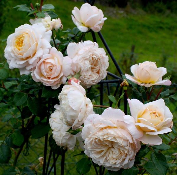 Last blooms of Summer? by ddolfelin