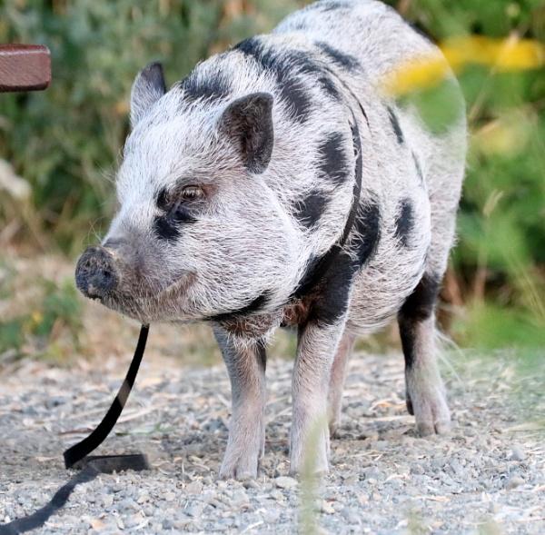 Mr.  Pork by tonyguitar