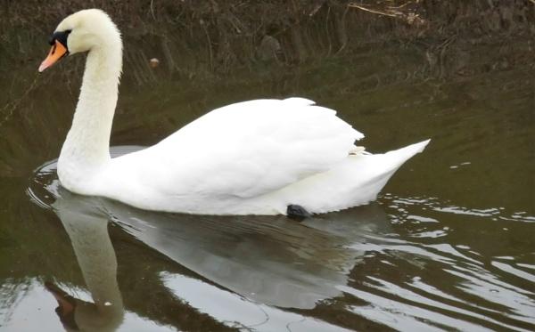 gliding swan