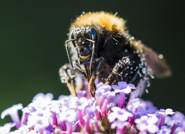 Pollen Gatherer by ChristopherA