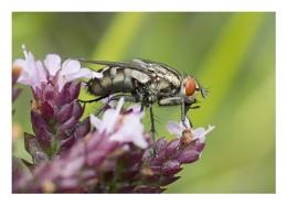 Sarcophaga sp. of Fly.