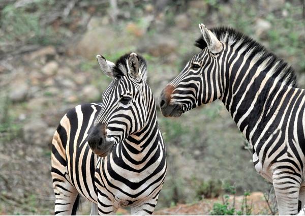 Zebra and Zebra by Coen