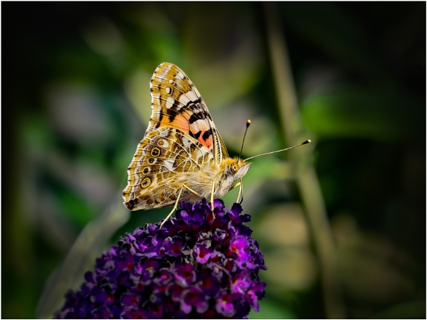 Painted Lady Vanessa cardui (underwing)