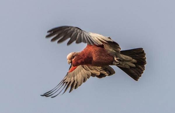 In full flight by Heyneker