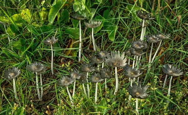 Coprinopsis- Ink cap by BillRookery