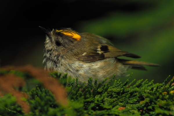 Goldcrest by Philrayc
