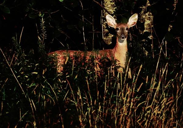 Roe deer in Röylä