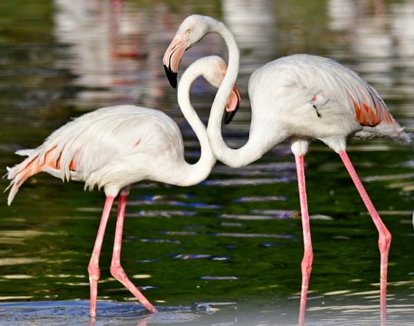 Flamingo in the Riyadh Zoo