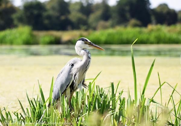 Grey heron by Glenn1487
