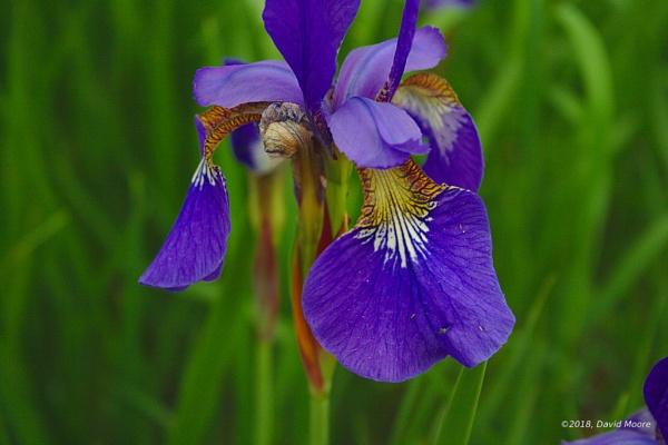 Water Iris by youcantoo