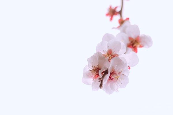 Peach Blossom by chowe328