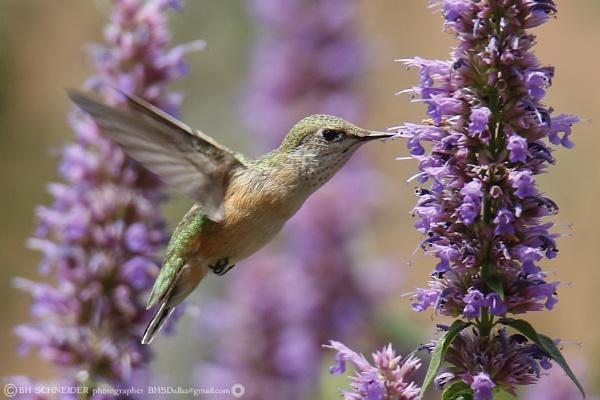 Hummingbird by BHSDallas