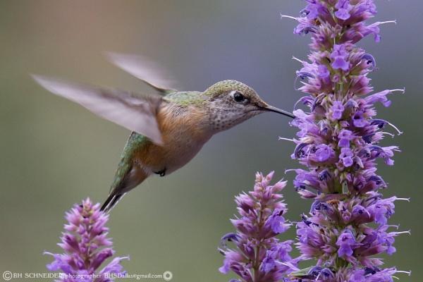 Hummingbird 3 by BHSDallas