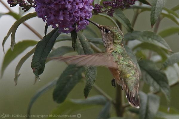 Hummingbird 4 by BHSDallas