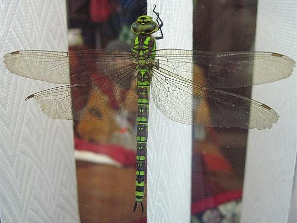 Dragonfly. by Brilane