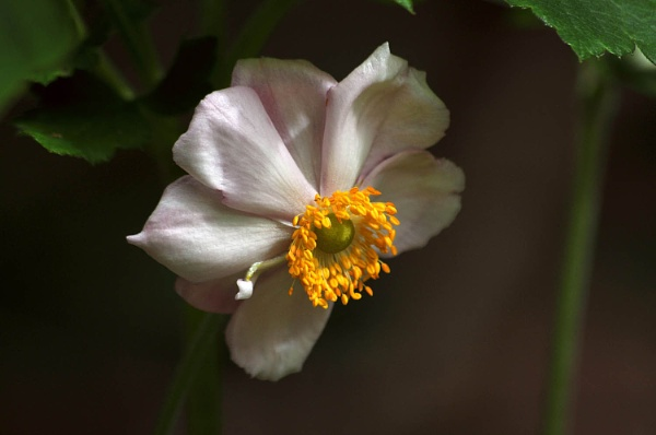 Japanese Anemone by viscostatic