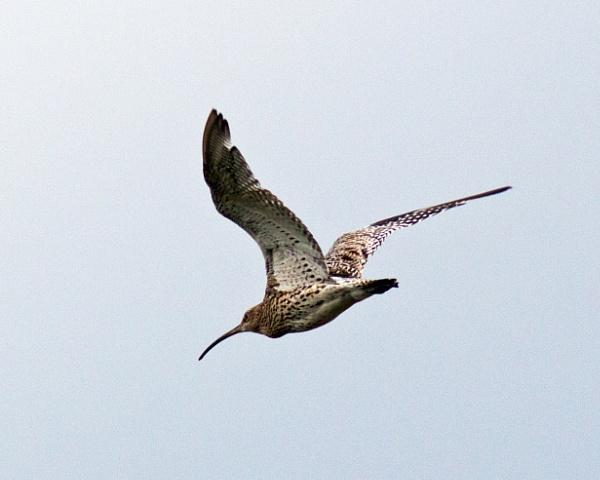 Curlew in flight by oldgreyheron