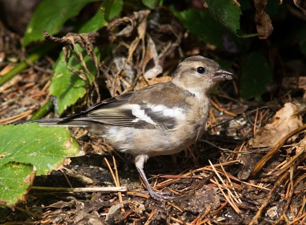 Juvenile chaffinch by oldgreyheron