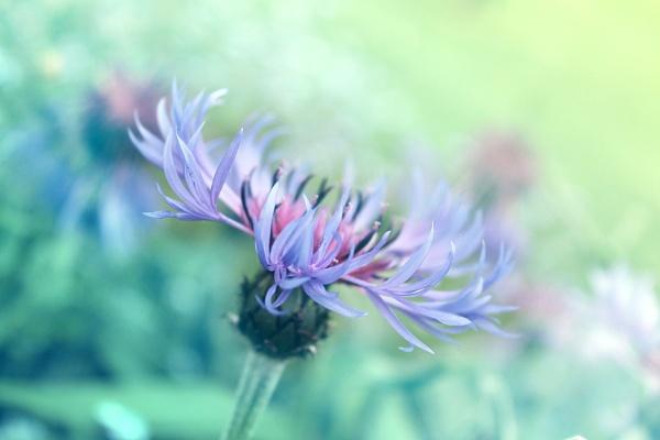 Soft Blues by helenlinda