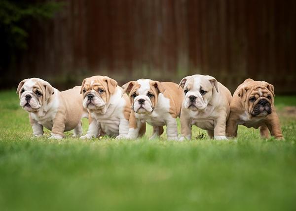 Bulldog Puppies. by DannoM