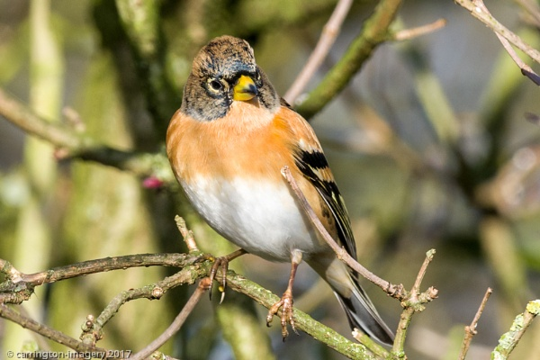 Brambling by CImagery