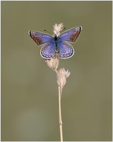 Common Blue by NigelKiteley