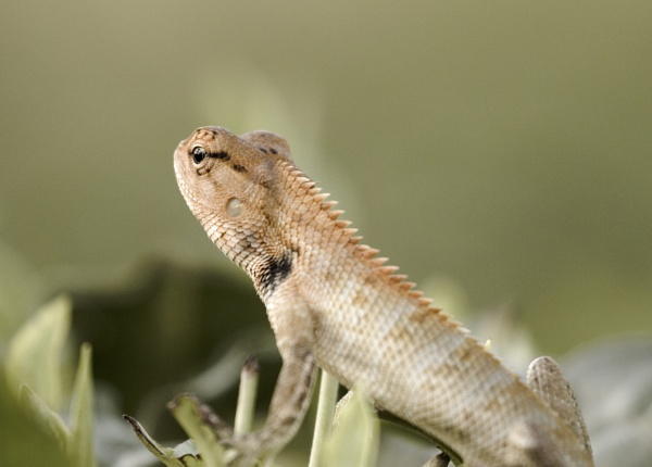Garden lizard by clicknimagine