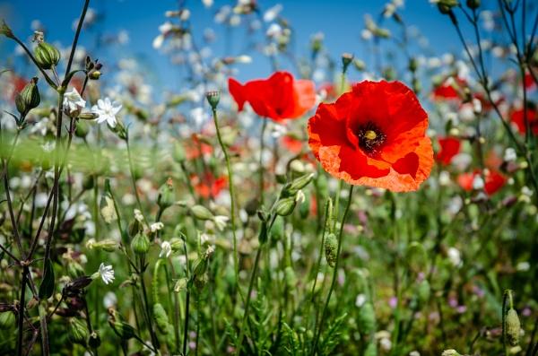 Poppy field by chavender