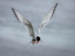 Arctic Tern With Catch