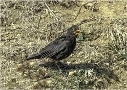 Blackbird, looking a bit quizzical.