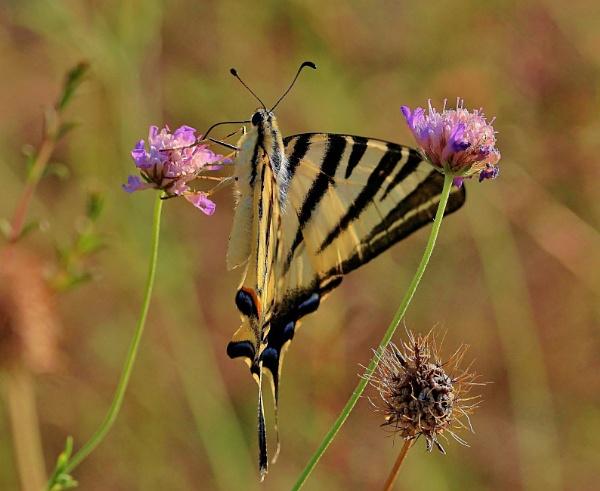 Swallowtale on a wildflower by georgiepoolie