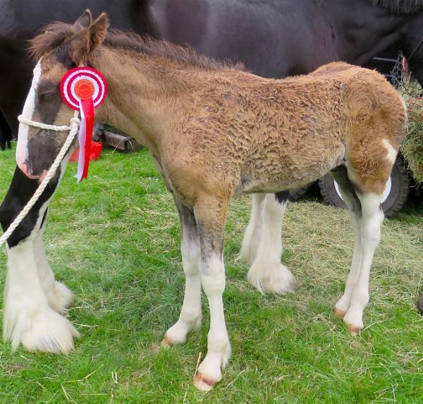 Shire Foal by ddolfelin