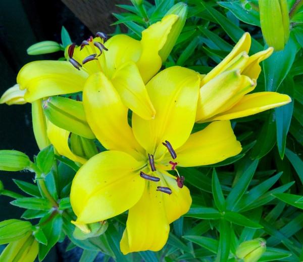 Lilies by ddolfelin