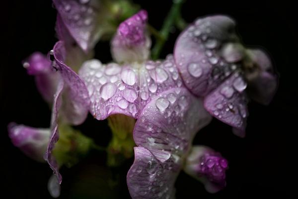 Sweetpeas In The Rain