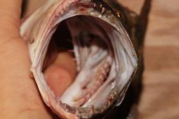 Flounder Jaws.