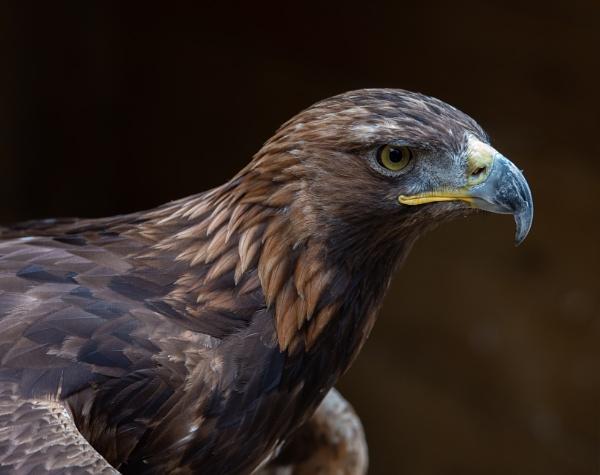 Golden Eagle. by 10delboy