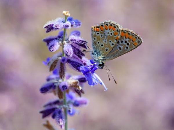 Amongst the lavender by Stevetheroofer