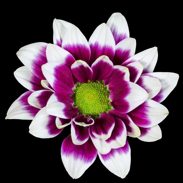 Chrysanthemum by lespaul