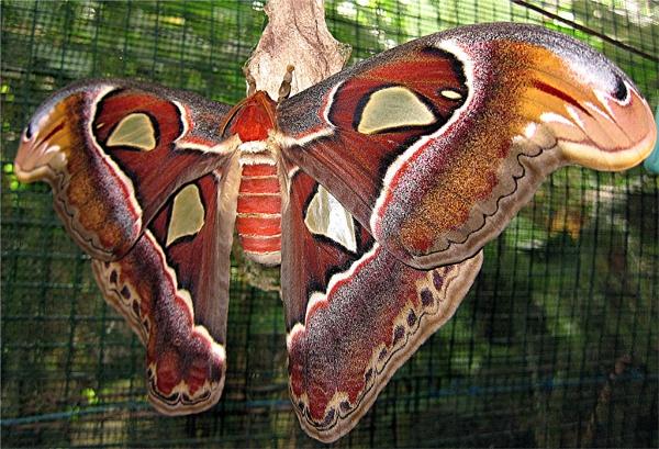 Atlas Moth (Attacus atlas) by MaryFaith
