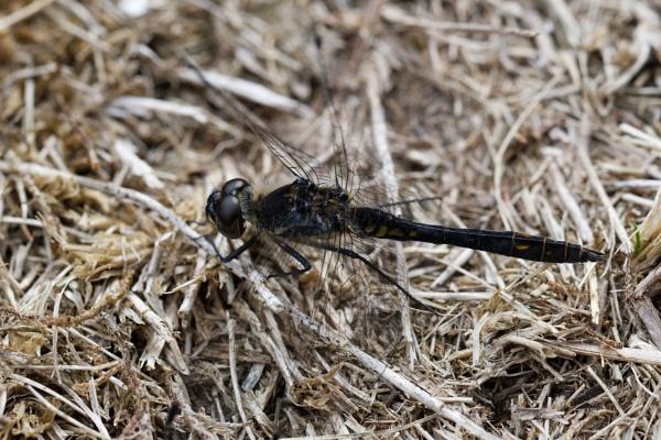 Black Darter by Wanilson