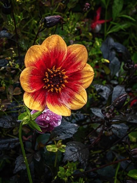Dahlia by BillRookery