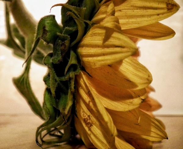 Sunflower by KrazyKA