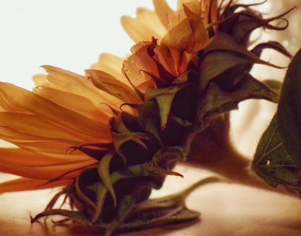 Sunflower 2 by KrazyKA