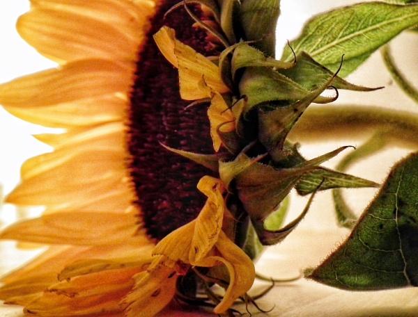 Sunflower 3 by KrazyKA