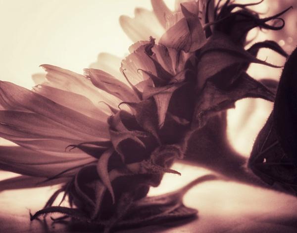 Sepia sunflower by KrazyKA
