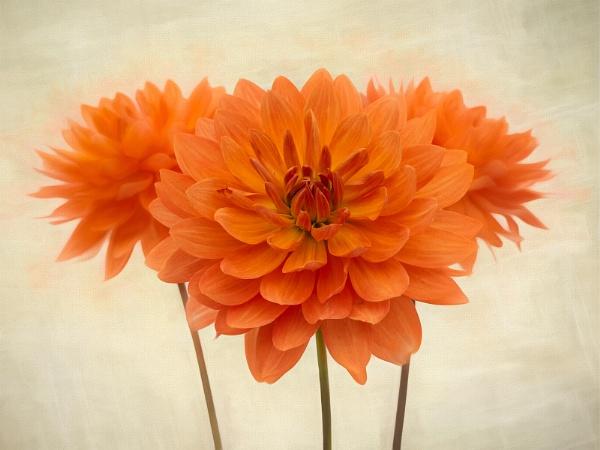Show Chrysanthemums by Leedslass1
