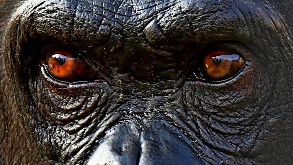 Young Chimpanzee by Savvas511