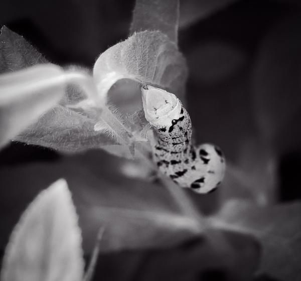 Elephant Hawk Moth Caterpillar by CrustyPics