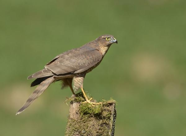 Female Sparrowhawk.......................Wild N Free , by KBan