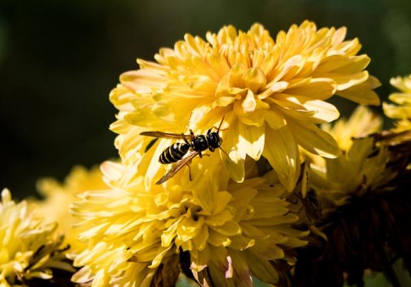 Wasp by WioletaJ